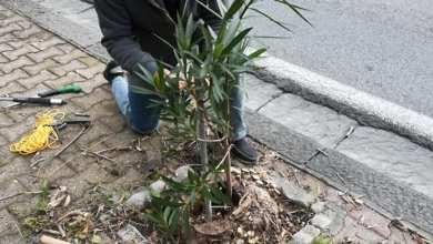 Photo of Via Baldassarre Cossa: i cittadini si riuniscono per piantare gli oleandri