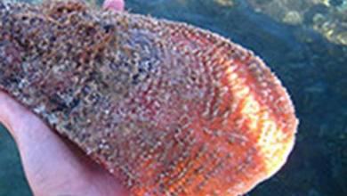 Photo of Molluschi a rischio estinzione, a Lacco Ameno congegno dell'AMP