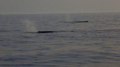 Photo of Punta Imperatore, avvistati ben tre esemplari di capodogli