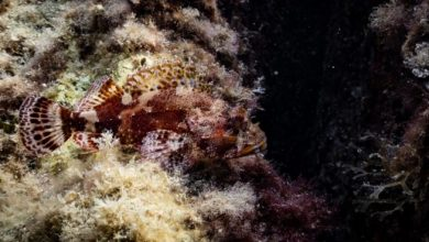 Photo of Regno di Nettuno, ecco le meraviglie del mare di Ischia e Procida