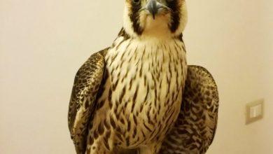 """Photo of La storia di Horus, il falco """"costretto"""" a lottare per la vita"""