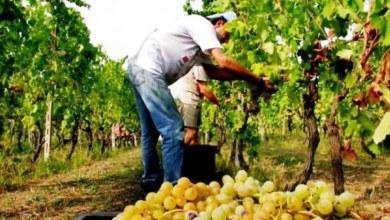 Photo of Settembre e la vendemmia sull'isola, felice accoppiata di fascino antico. Il rilancio delle aziende vinicole e la qualità dei vini tradizionali