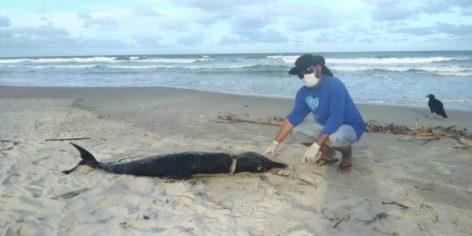 Golfinho é encontrado morto em praia da Ponta da Pulha em Ilhéus 4