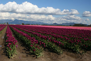 Tulips Fields in Skagit Valley, Washington