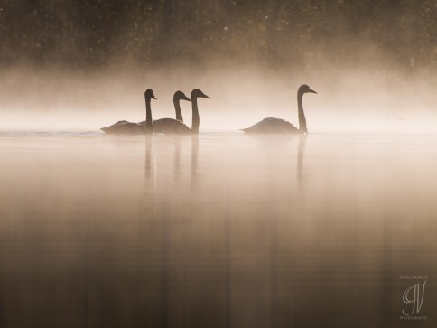 Swans in morning fog