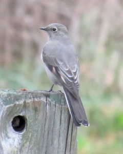 Townsend's Solitaire by Barbara Williams