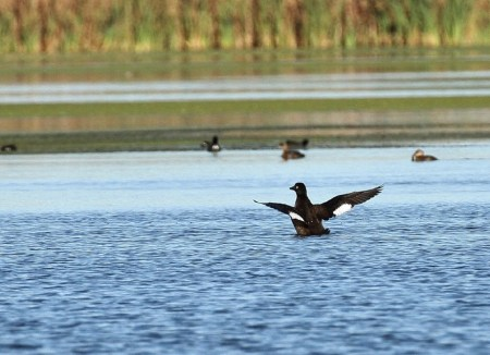White-winged Scoter by Ron Bradley