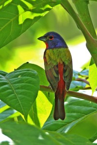 Painted Bunting by Douglas Hommert