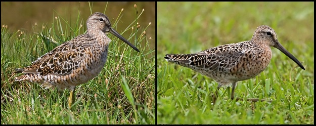 Transitioning adult LBDO (left) and hendersoni SBDO (right) photographed in April by Kevin Karlson.
