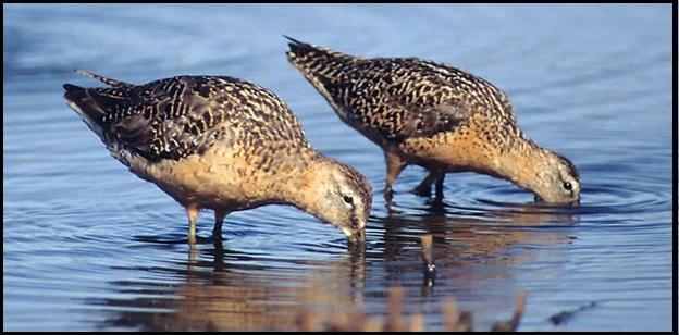 Worn breeding plumage LBDO (left) and SBDO (right), photographed in August by Julian Hough.
