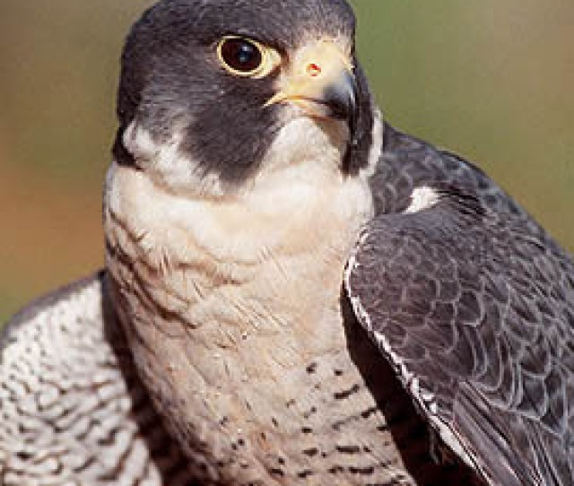 The Peregrine Falcon Is The Fastest Animal On Earth
