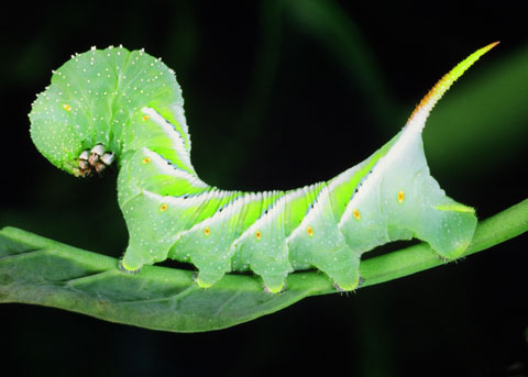 Tobacco Hornworm on a leaf caterpillar tongue