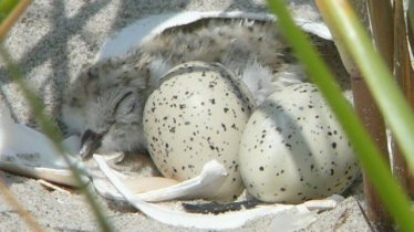 piping plovers eggs hatching
