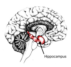 hippocampus brain games science cocktail