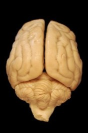 Compare the texture of this dog brain to the human brain in the photo at the beginning of this article. Which looks more wrinkly?