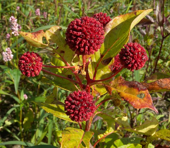 Image result for buttonbush fruit