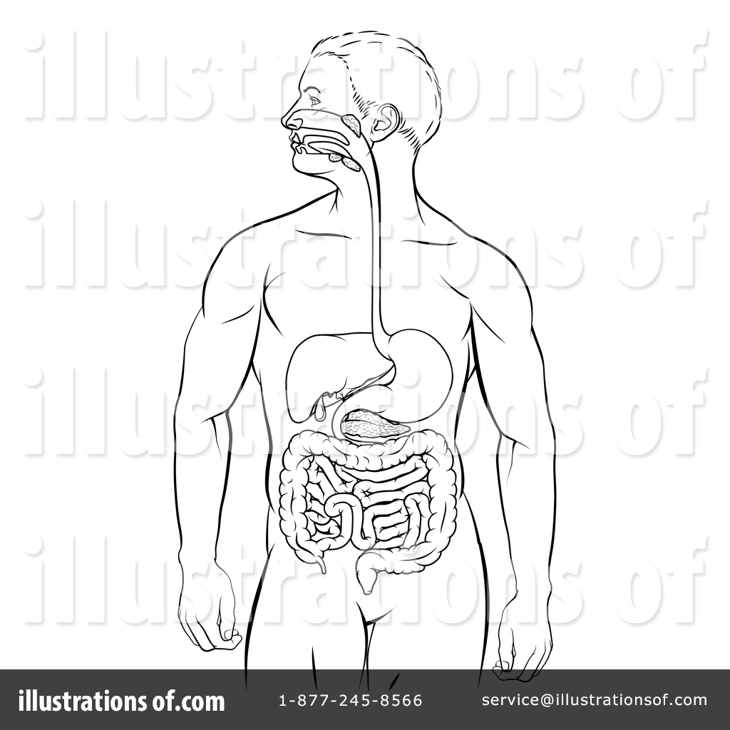 Digestive System Clipart