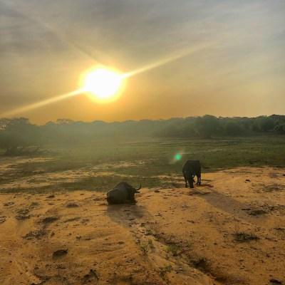 Sri lanka - bisonti