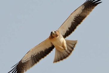 A Cupello uno splendido esemplare di Aquila minore