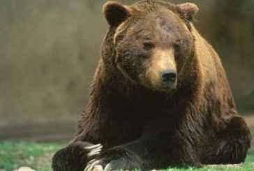 L'orso Stefano, simbolo del Parco, ucciso a fucilate