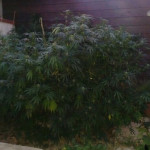 la pianta sequestrata