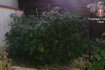 Enorme pianta di marijuana in giardino, nei guai una coppia di molisani