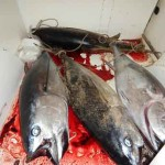 L'Aquila: sequestro tonni rossi