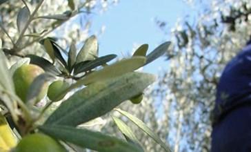Raccolta delle olive, controlli dell'Ispettorato