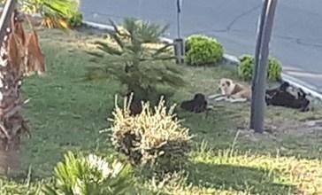 La rotatoria di S.Onofrio ostaggio di cani randagi