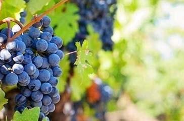 """Vendemmia 2019 in Abruzzo, """"Meno uva ma più qualità"""""""