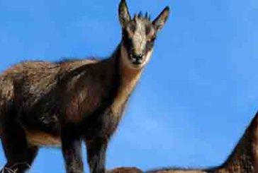 Aumentano i camosci nel Parco nazionale d'Abruzzo Lazio e Molise, +18% di nuovi nati