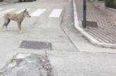 """Lupi nei centri urbani del Chietino. I veterinari Asl: """"Niente paura per le persone, ma proteggiamo gli animali domestici"""""""