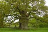 Indagini per una quercia secolare abbattuta