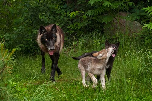 She wolf and two pups