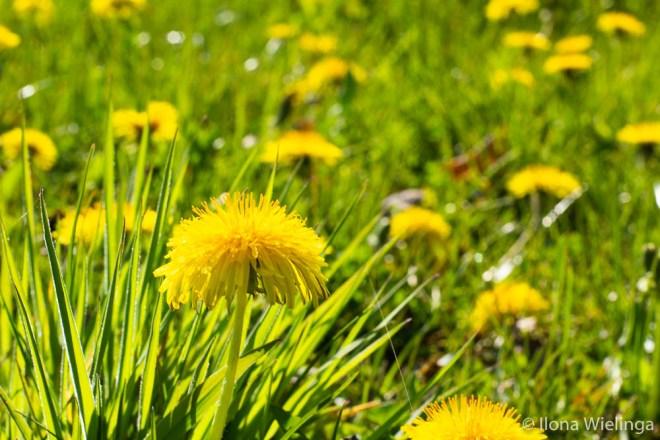 lente 2 paardenbloemen