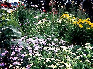 Perennials I Have Grown