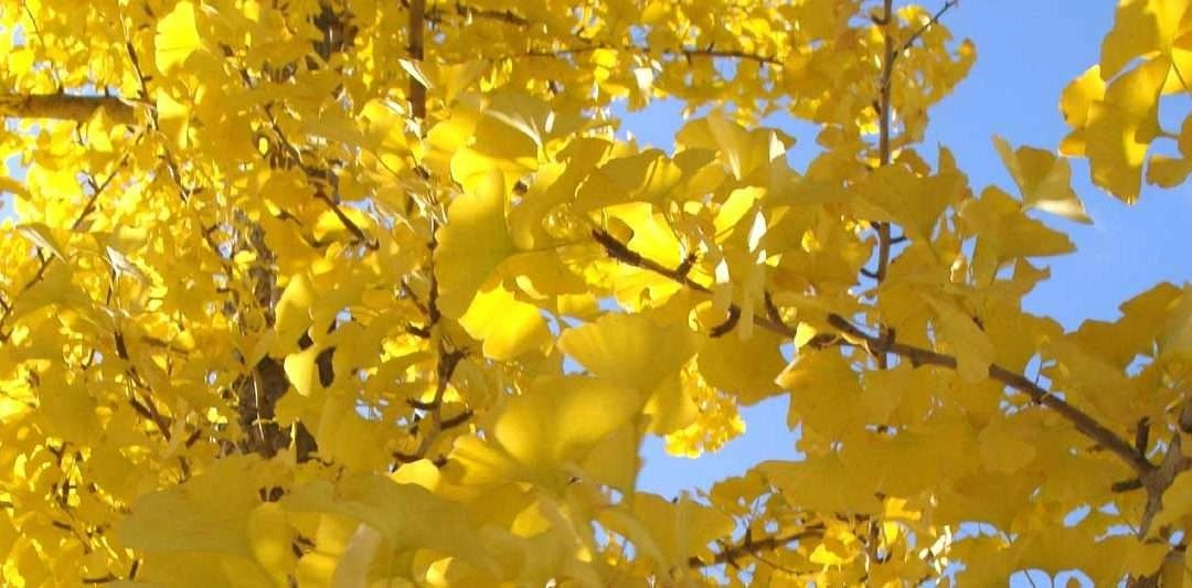 autumn Gingko leaves