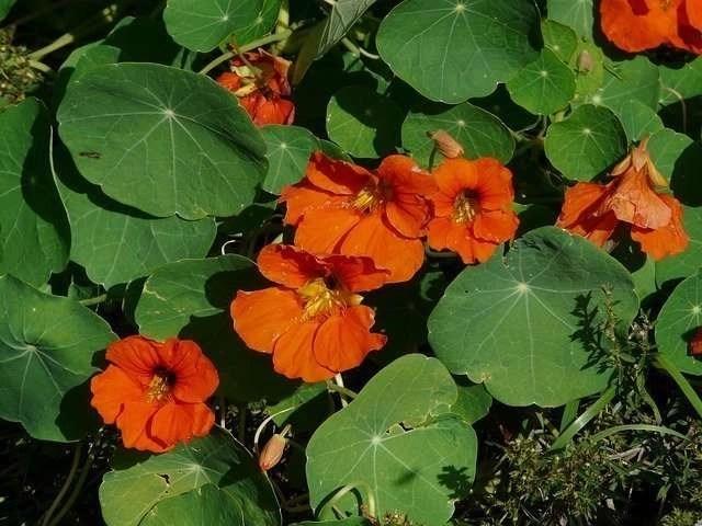 For Your Garden Nasturtium