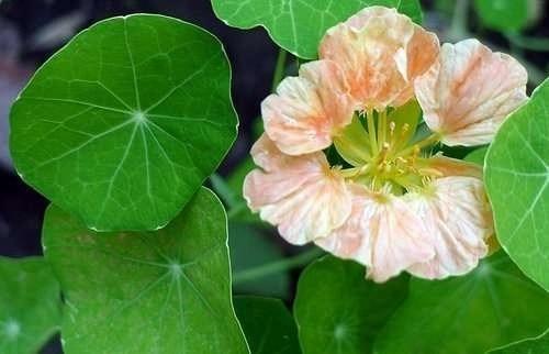 Annuals For Your Garden Nasturtium