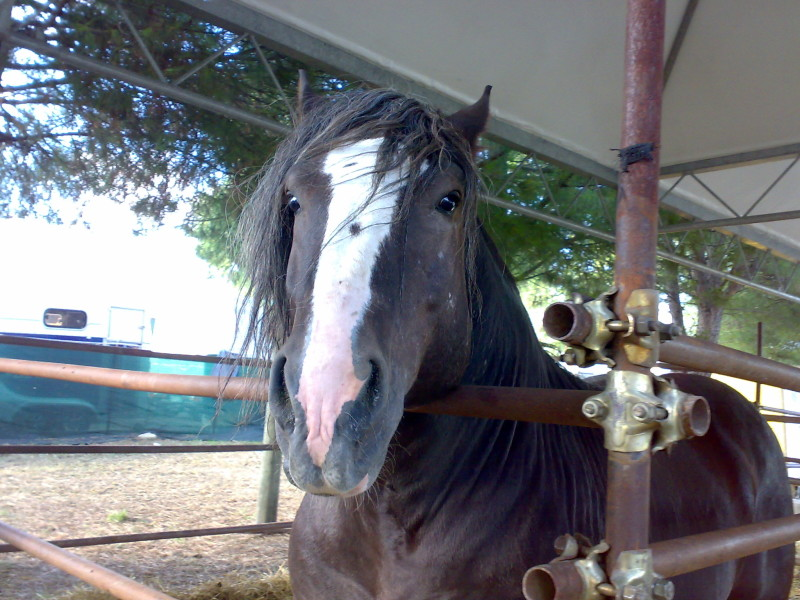 kůň s lysinou itálie