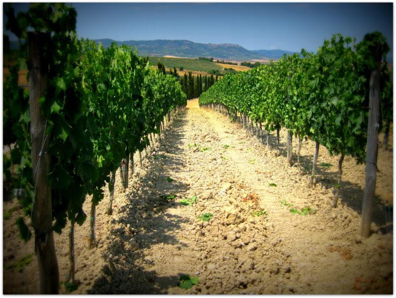 Montalcino - rozlehlé vinice