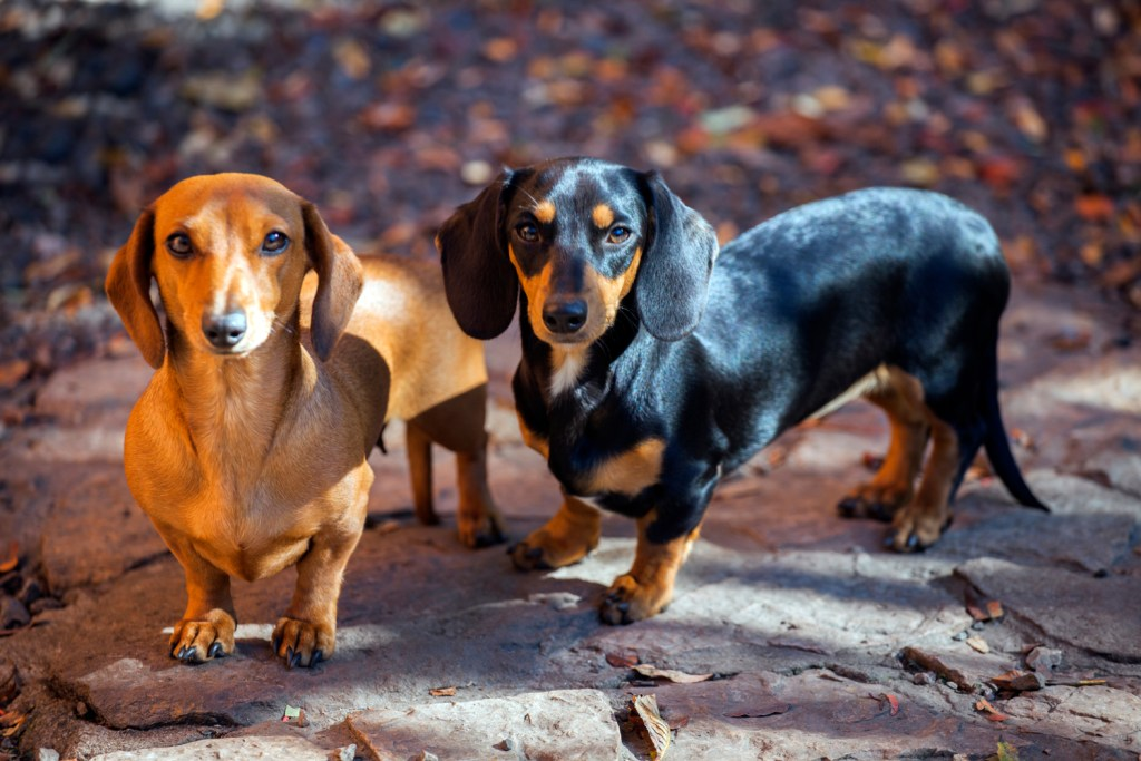 Should I Get Two Dachshunds? Two dachshunds on a walk together looking competitive