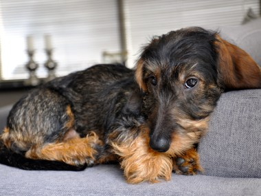 itchy dachshund laying on the sofa looking sad