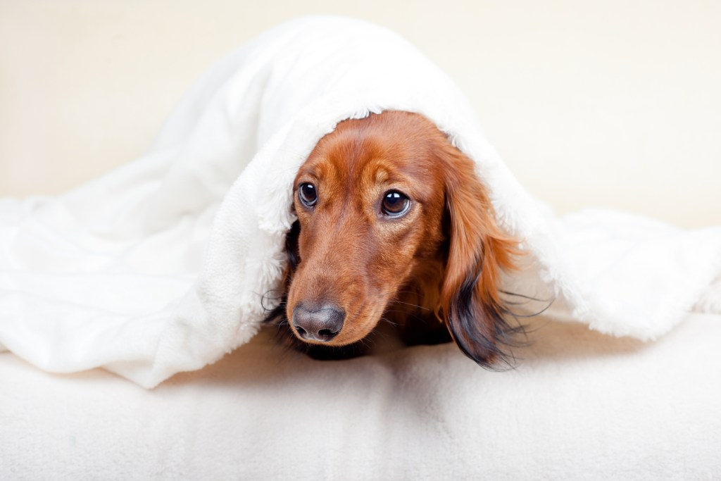 Why Do Dachshunds Go Under a Blanket? Dachshund burrowing under a blanket with face poking out