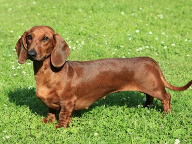 Full grown standard dachshund standing in the garden
