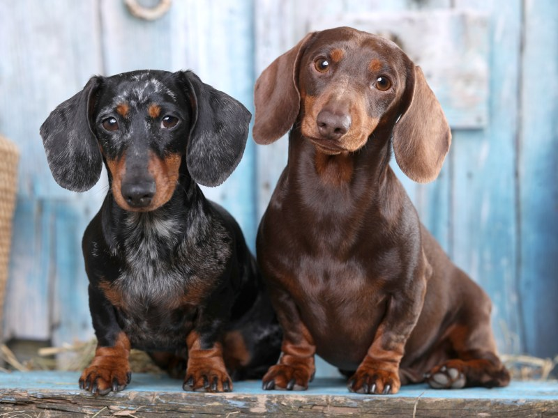 two dachshunds with health problems sat outside looking sad