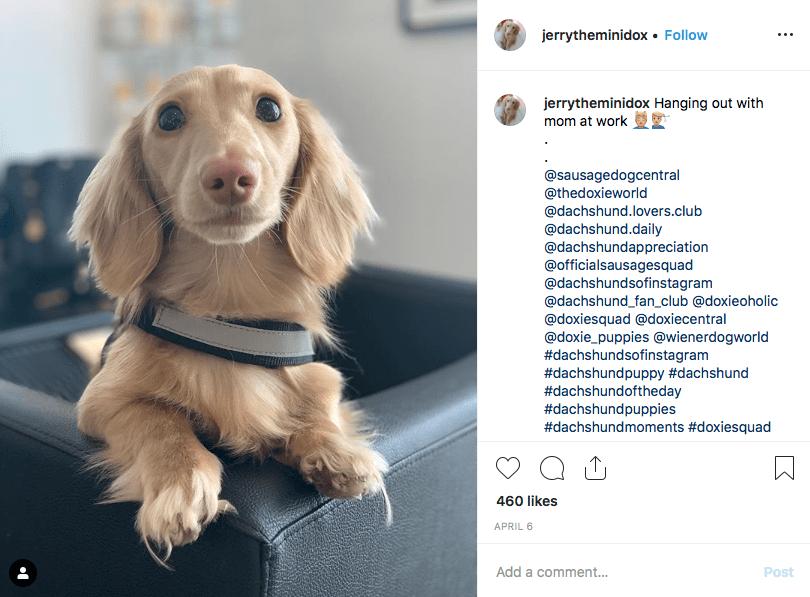 Instagram screenshot of dachshund @jerrytheminidox
