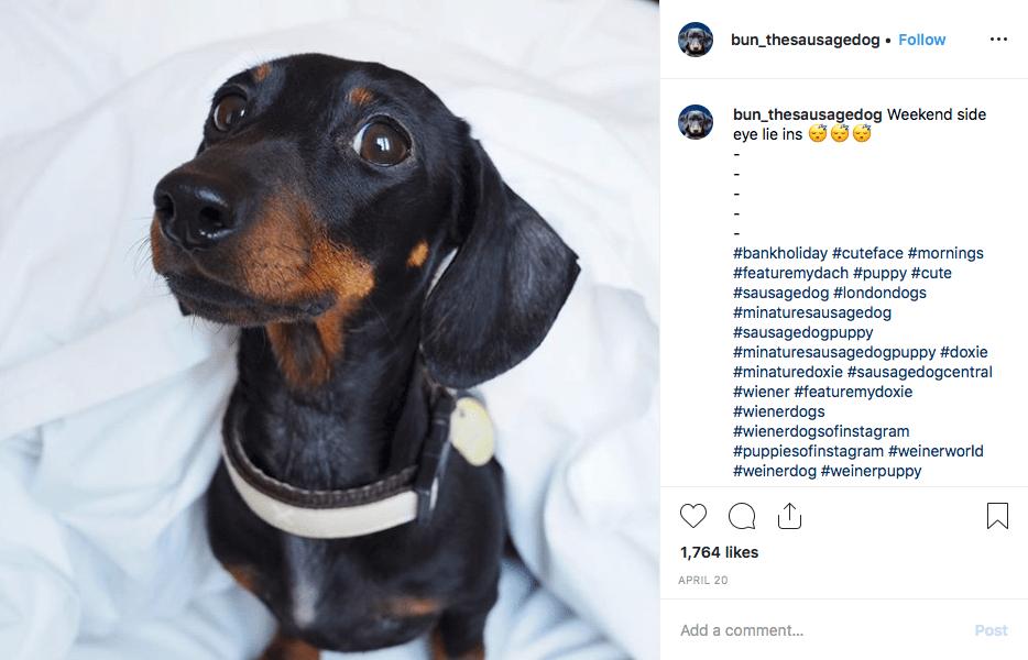 Instagram screenshot of @bun_thesausagedog