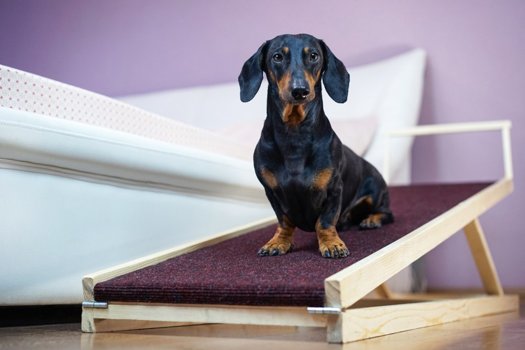 A dachshund sat on a ramp used to get up and down from the bed or sofa to prevent back pain