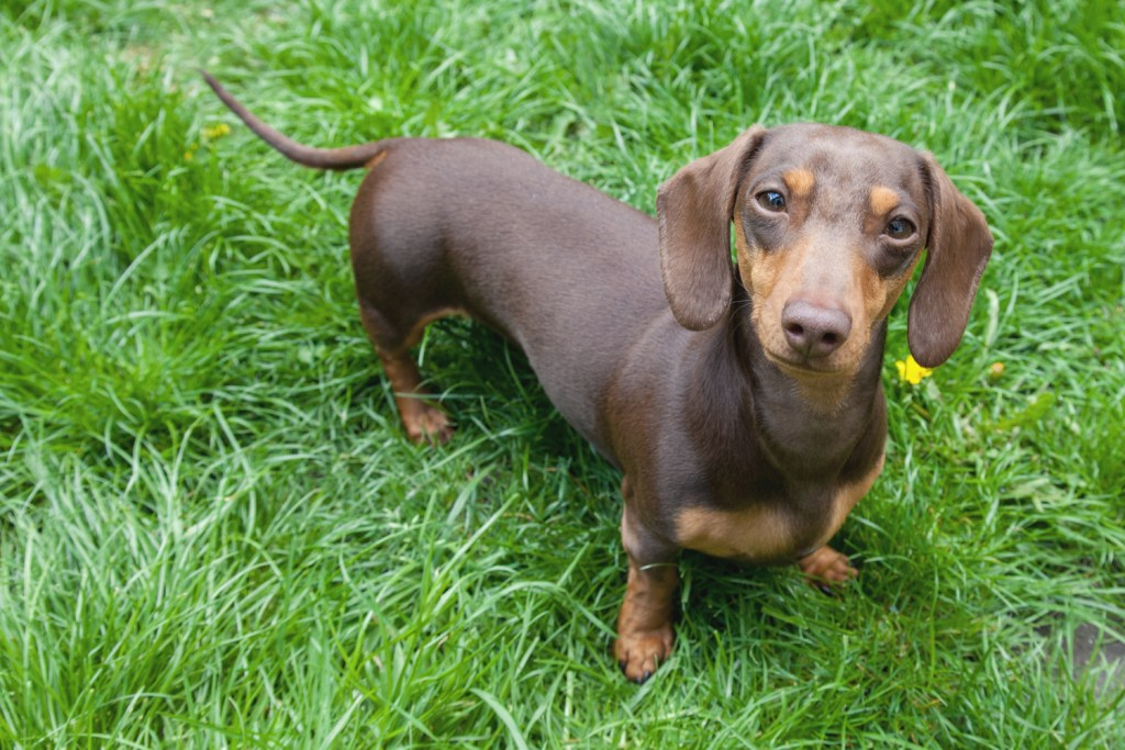 Can Dachshunds Live in Apartments? Dachshund in the garden sat on the grass